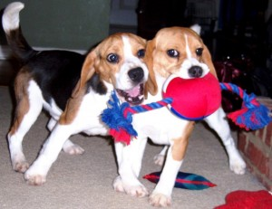 Beagle Puppies WEB