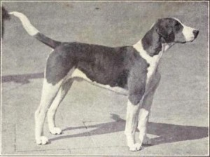 English_Foxhound_from_1915